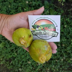 Giant White fig seeds from...