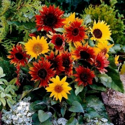 Semillas De Girasol Ornamental multicolor