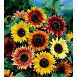 Καλλωπιστικά Ηλίανθος Σπόροι πολλαπλών χρώμα