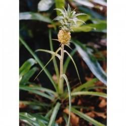 Sementes de Ananas nanus (ananaí-da-amazônia)