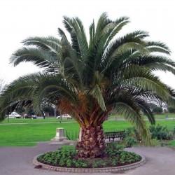 Seme Palme Kanarska datulja...