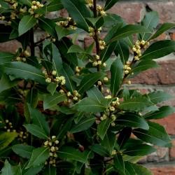 100 Seeds Bay Laurel, bay tree, true laurel (Laurus nobilis) 15 - 2