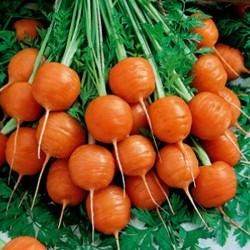 Semillas Zanahoria Redonda...