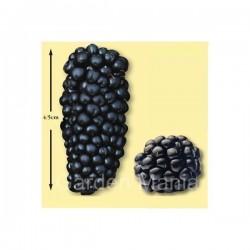Schwarze Maulbeere Samen Saatgut (Morus nigra)