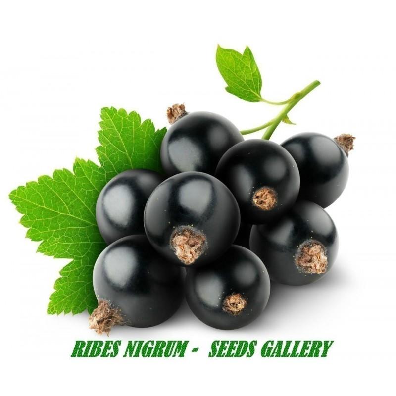 Crna Ribizla Seme (Ribes nigrum)