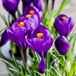 Purple Crocus bulbs