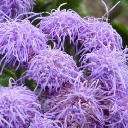 Flossflower Seeds (Ageratum...
