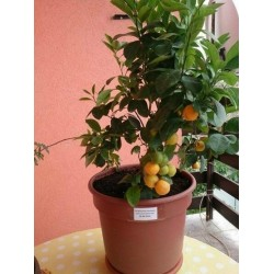 Calamondin-Orange Zwergorange Samen