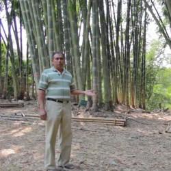 Semi di bambù giganti...