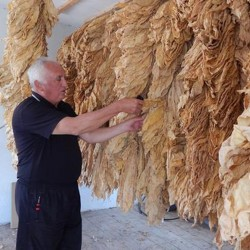 Tobacco seeds Hercegovacki Ravnjak (32 leaves)