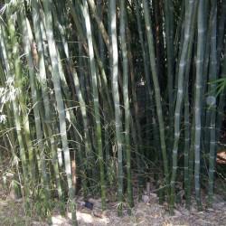 Graines de bambou blanc...
