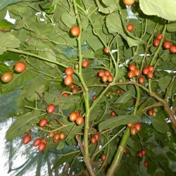 Cyphomandra betacea /'rot/' Tamarillo Baumtomate 50-300 Samen