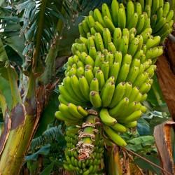 Seme divlje šumske banane...