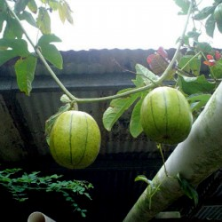Chinese Passion Fruit Seeds...