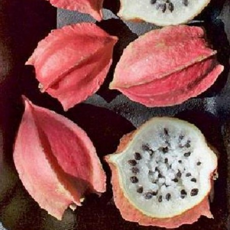 Rare Chocola Seeds (Jarilla chocola)