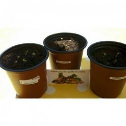 Graines de Moutarde noire (Brassica nigra)
