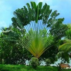 Baum der Reisenden Samen