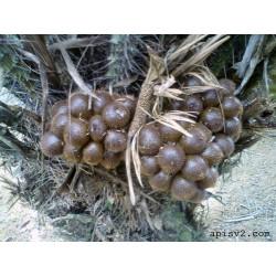 Sementes de Snake Fruit - Salacca Palm