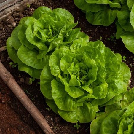Вука насіння салату весняної головки
