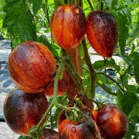 Семена томатов Гаргамель