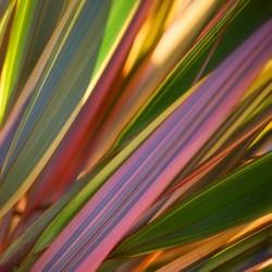 New Zealand flax - Flax...