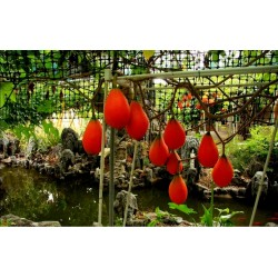 Gac Exotic Fruit Seeds (Momordica cochinchinensis)
