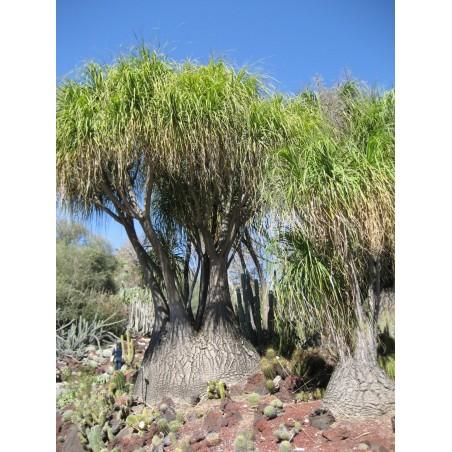 Sementes de palmeira pata-de-elefante (Beaucarnea recurvata)