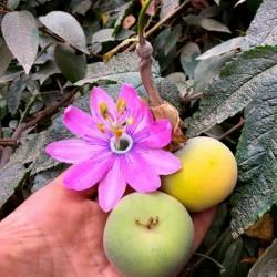 بذور Tauso (Passiflora...