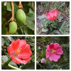 Tumbo seme (Passiflora mixta)