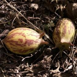 Semințe de granadină...