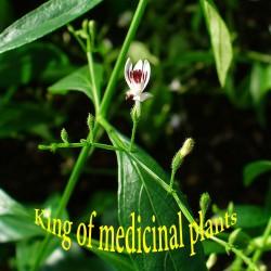Kalmegh Samen Heilpflanze...