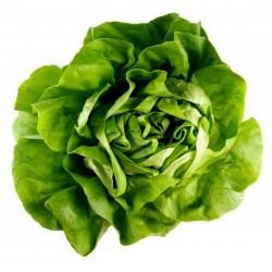 Salatsamen Kopfsalat Attraktion