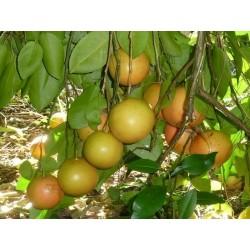 Crveni Grejpfrut Seme (Citrus × paradisi)