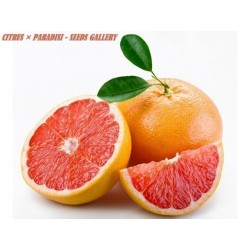 Grapefruit Red Seed (Citrus × paradisi)
