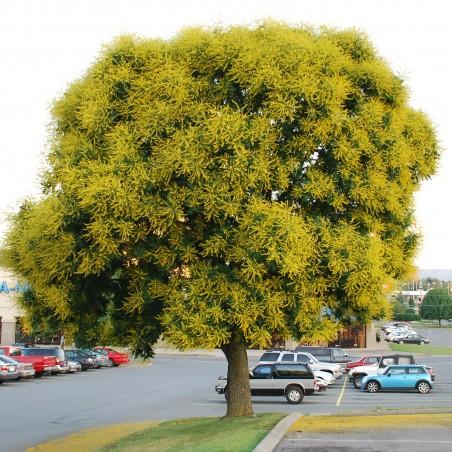 Semillas de jabonero de la China (Koelreuteria paniculata)