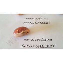 Semillas de El árbol de jack, yaca o panapén (Artocarpus heterophyllus)
