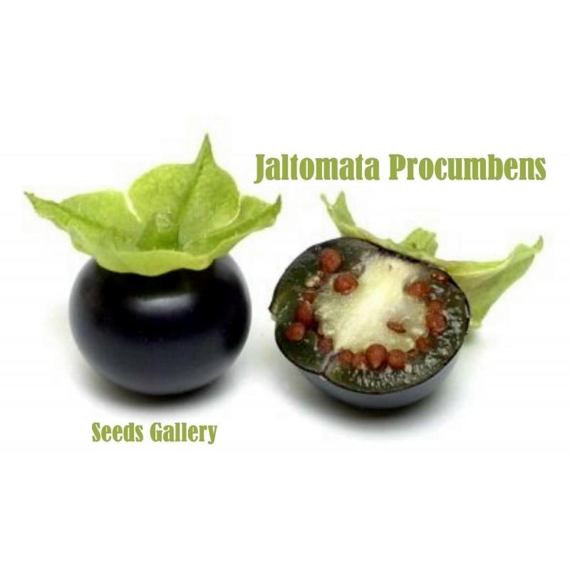 Sementes de Jaltomata procumbens Fruta exótico