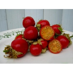 Semi di Pomodoro del Litchi