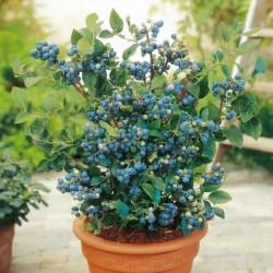 Σπόροι Μυρτιλο Blueberries (Vaccinium angustifolium)