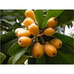 Níspero - Loquat Seeds (Eriobotrya japonica)