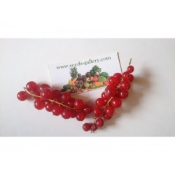 Semi di Ribes rosso (Ribes rubrum)