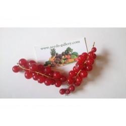 Graines Groseillier Fruits Rouges (Ribes rubrum)