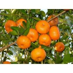 Mandarina Seme ili Mandarinka (Citrus reticulata)