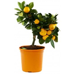 Sweet Mandarin orange Seeds (Citrus reticulata)