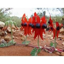 Sturt's Desert Pea Seeds (Swainsona formosa)