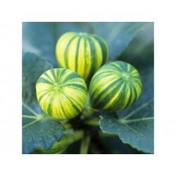 Semillas de Higuera Panache (Ficus Carica)