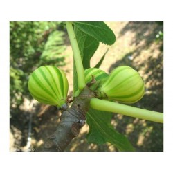 Graines de Figuier PANACHE (Ficus carica)