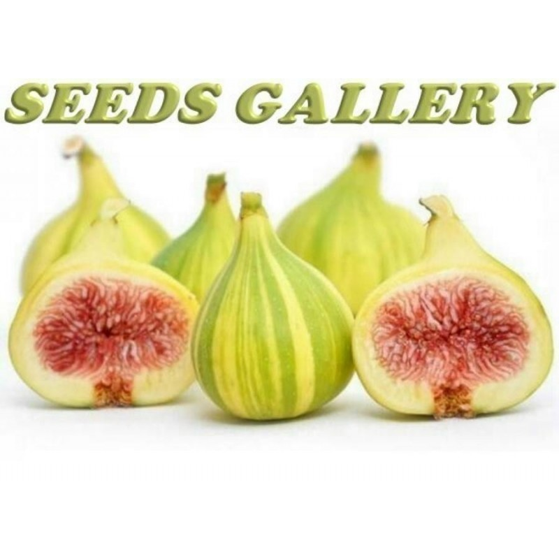 Tiger Fig Seeds, Panache Fig (Ficus Carica)