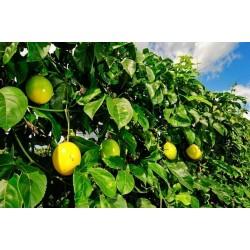 Graines de Passiflora Grenadille jaune