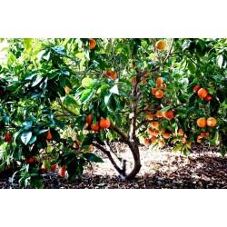 """""""Moro"""" Blood Orange Fresh Seeds"""